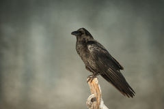 Common Raven Stock Images