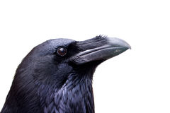 Common raven Royalty Free Stock Image