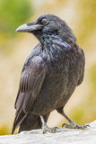 Common Raven Stock Photo