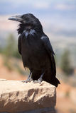 Common Raven (Corvus corax). Perched on stone wall. Taken at Bryce Canyon National Park in Utah, U.S.A Royalty Free Stock Photo