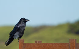 Common Raven (Corvus corax). Stock Photos