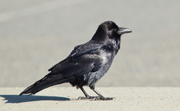 Common Raven (Corvus corax). Royalty Free Stock Photography