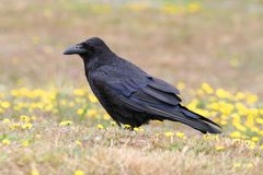 Common Raven (Corvus corax). In a grassy field with flowers Royalty Free Stock Photo
