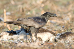 Common Raven (Corvus corax) Stock Photography