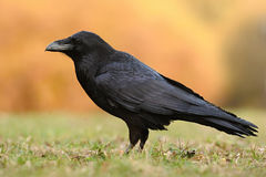 The common raven  - Corvus corax. The common raven Corvus corax, also known as the northern raven, all-black passerine bird. A raven is one of several larger Royalty Free Stock Images