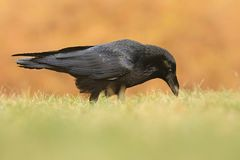 The common raven Corvus corax, also known as the northern raven, stock photography