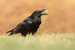 The common raven Corvus corax, also known as the northern raven, stock photo