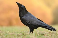 The common raven Corvus corax, also known as the northern raven, royalty free stock photography