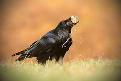 The common raven Corvus corax, also known as the northern raven, stock images