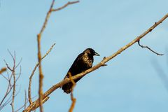 Common raven corvus corax also known as the northern raven is a large all black passerine bird hang out on a branch in autumn. Common raven corvus corax also royalty free stock image