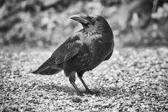 Common raven, corvus corax Royalty Free Stock Image