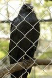 Common raven (Corvus corax) Stock Photo