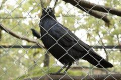 Common raven (Corvus corax) Royalty Free Stock Images