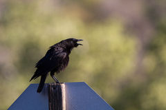 Common Raven, Corvus Corax Stock Image