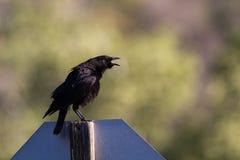 Common Raven, Corvus Corax. Raven caws at dawn in Leo Carrillo State Park in Malibu, California Stock Image