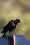 Common Raven, Corvus Corax. Raven caws at dawn in Leo Carrillo State Park in Malibu, California Stock Photos