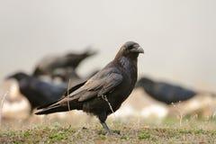 Common Raven Corvus corax royalty free stock image