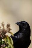 Common Raven, Corvus Corax. Raven at dawn in Leo Carrillo State Park in Malibu, California Royalty Free Stock Photo