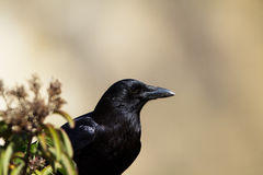 Common Raven, Corvus Corax. Raven at dawn in Leo Carrillo State Park in Malibu, California Royalty Free Stock Images