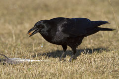 Common Raven. (Corvus corax) eating Stock Images