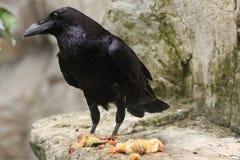Common raven (Corvus corax). Stock Photo