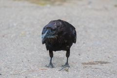 Common raven & x28;Corvus corax& x29; Eating dragonfly in Northwest Territories NWT Canada.  Stock Photos