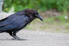 Common raven & x28;Corvus corax& x29; Eating dragonfly in Northwest Territories NWT Canada. Common raven & x28;Corvus corax.& x29; Eating dragonfly in Northwest Royalty Free Stock Image