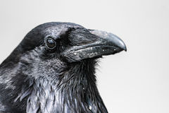 Common Raven (Corvus corax) Royalty Free Stock Photography