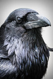 Common Raven (Corvus corax) Royalty Free Stock Photos