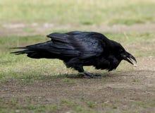 Common Raven - Corvus corax Stock Photography
