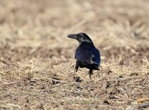 The common raven Corvus corax. Looks at me from the field Royalty Free Stock Image
