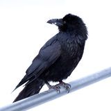 Common Raven Corvus corax perched on metal bar Royalty Free Stock Photography