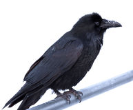 Common Raven Corvus corax perched on metal bar Royalty Free Stock Photo