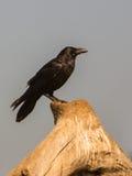 Common Raven Stock Photos