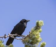 Common raven Corvus corax pine tree Stock Photo