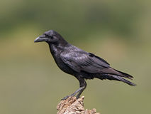 Common raven (Corvus corax) Stock Images