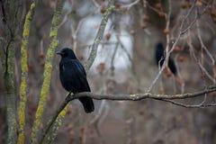 Common Raven (Corvus corax) Stock Images