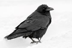 Common Raven Corvus corax in the snow in Banff National Park. Alberta, Canada Royalty Free Stock Images