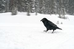 Common Raven Corvus corax in the snow in Banff National Park. Alberta, Canada Stock Photos