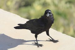Common raven Corvus corax view from front stock image