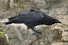 Common raven (Corvus corax). Stock Photos