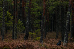 Common raven in dark forest Stock Photos