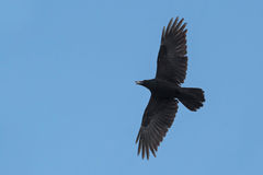 Common Raven royalty free stock photo