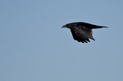 Common Raven Flying in a Blue Sky Stock Images