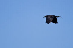Common Raven Flying in a Blue Sky Royalty Free Stock Photography