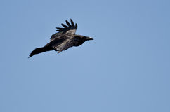 Common Raven Flying in a Blue Sky Stock Photo