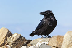 Common Raven at Fuerteventura Royalty Free Stock Photos