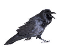Common Raven isolated on white Royalty Free Stock Photo