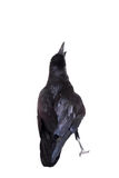 Common Raven isolated on white Royalty Free Stock Photos
