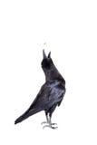 Common Raven isolated on white Stock Photo